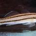 Tridentiger bifasciatus - Photo (c) Ray Cui, algunos derechos reservados (CC BY-NC-SA)