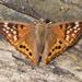 Hackberry Butterflies - Photo (c) Benjamin Schwartz, some rights reserved (CC BY-NC)