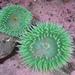 Anthopleura xanthogrammica - Photo (c) Stephen Bentsen, algunos derechos reservados (CC BY-NC-ND)
