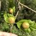 Andricus quercuspetiolicola - Photo (c) Susan J. Hewitt, algunos derechos reservados (CC BY-NC)