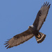 Zone-tailed Hawk - Photo (c) mnwild, some rights reserved (CC BY-NC)