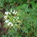 Mexican Clammyweed - Photo (c) elizatorres, some rights reserved (CC BY-NC), uploaded by Elizabeth Torres Bahena