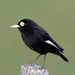 Spectacled Tyrant - Photo (c) Lip Kee, some rights reserved (CC BY-SA)