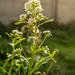 Armoracia rusticana - Photo (c) Adrianna Rafalska, algunos derechos reservados (CC BY-NC-ND)