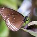 Mariposa Cuervo Común - Photo (c) nnandrek, algunos derechos reservados (CC BY-NC)