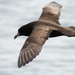 White-chinned Petrel - Photo (c) tam_topes, some rights reserved (CC BY-NC)