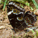 Morpho helenor achillaena - Photo (c) Eden Fontes, some rights reserved (CC BY-NC)