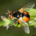 Gymnosoma nudifrons - Photo (c) Miroslav Fiala, algunos derechos reservados (CC BY-NC)