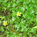 Small Yellow Water-Crowfoot - Photo (c) Superior National Forest, some rights reserved (CC BY)