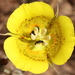 Calochortus luteus - Photo (c) Anthony Lombardi,  זכויות יוצרים חלקיות (CC BY)