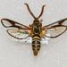 Paranthrene asilipennis - Photo (c) Royal Tyler, algunos derechos reservados (CC BY-NC-SA)