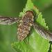 Hirmoneura bellula - Photo (c) orlandomontes, algunos derechos reservados (CC BY-NC)