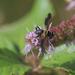 Ectophasiopsis - Photo (c) orlandomontes, algunos derechos reservados (CC BY-NC)