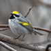 Golden-winged Warbler - Photo (c) Josh Vandermeulen, some rights reserved (CC BY-NC-ND)