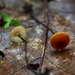 Hairy Long Stem Marasmius - Photo (c) Beth, some rights reserved (CC BY-NC)