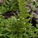 Woodsia ilvensis - Photo (c) aarongunnar, algunos derechos reservados (CC BY)