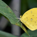 Eurema floricola floricola - Photo (c) thierrycordenos, some rights reserved (CC BY-NC)