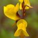 Utricularia juncea - Photo (c) Alex Popovkin, Bahia, Brazil, algunos derechos reservados (CC BY)