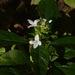 Yeatesia viridiflora - Photo (c) Daniel M. McNair, algunos derechos reservados (CC BY-SA)