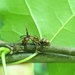 Ophiocordyceps kimflemingiae - Photo (c) Tess (Teresa), algunos derechos reservados (CC BY-NC)