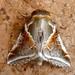 Habrosyne - Photo (c) gailhampshire, algunos derechos reservados (CC BY)