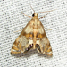 Two-banded Petrophila Moth - Photo (c) kestrel360, some rights reserved (CC BY-NC-ND)