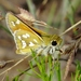 Green Skipper - Photo (c) Bill Carrell, some rights reserved (CC BY-NC-ND)