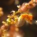 Hippocampus pontohi - Photo (c) Silke Baron, algunos derechos reservados (CC BY)