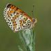 Mariposas Parche, Lunitas Y Parientes - Photo (c) Anne SORBES, algunos derechos reservados (CC BY-NC-SA)