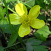 Ranunculus hispidus nitidus - Photo (c) Jay Sturner,  זכויות יוצרים חלקיות (CC BY)