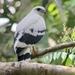 Aguililla Blanca - Photo (c) dancingbirder, algunos derechos reservados (CC BY-NC)