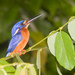 Typical River Kingfishers - Photo (c) Paulo Philippidis, some rights reserved (CC BY)