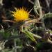 Centaurea procurrens - Photo (c) Ron Frumkin, algunos derechos reservados (CC BY-NC)