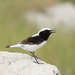 Finsch's Wheatear - Photo (c) Ani Sarkisyan, some rights reserved (CC BY)