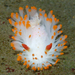 Cockerell's Dorid - Photo (c) Robin Agarwal (ANudibranchMom on iNaturalist), some rights reserved (CC BY-NC)