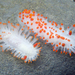 Limacia - Photo (c) Robin Agarwal (ANudibranchMom on iNaturalist), algunos derechos reservados (CC BY-NC)
