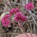 Chorizanthe douglasii - Photo no hay derechos reservados