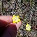 Platystemon californicus ciliatus - Photo (c) zachb79, algunos derechos reservados (CC BY-NC)