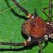 Gonyleptes - Photo (c) Adriano B. Kury, μερικά δικαιώματα διατηρούνται (CC BY-NC)