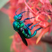 Emerald Cuckoo-Orchid Bee - Photo (c) Eden Fontes, some rights reserved (CC BY-NC)