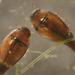 Hydroscaphidae - Photo (c) David R. Maddison, alguns direitos reservados (CC BY)