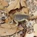 Anuroctonus pococki - Photo (c) R.J. Adams, algunos derechos reservados (CC BY-NC)