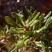 Morella pumila - Photo (c) Nate Hartley, μερικά δικαιώματα διατηρούνται (CC BY-NC)