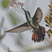 Mango Hummingbirds - Photo (c) Jerry Oldenettel, some rights reserved (CC BY-NC-SA)