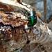 Cotinis viridicyanea - Photo (c) ahuatzinjc, algunos derechos reservados (CC BY-NC)
