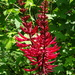 Hierba de Colorín - Photo (c) Dwight Bohlmeyer, algunos derechos reservados (CC BY-NC)
