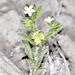 Lappula occidentalis cupulata - Photo (c) Robert Johnson,  זכויות יוצרים חלקיות (CC BY-NC)