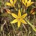 Triteleia ixioides ixioides - Photo (c) Morgan Stickrod, algunos derechos reservados (CC BY-NC)