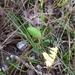 Chiococca parvifolia - Photo (c) lydiamc, algunos derechos reservados (CC BY-NC-ND)