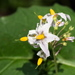 Greenspot Nightshade - Photo (c) Jerry Kirkhart, some rights reserved (CC BY)